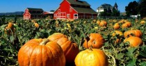 Pumpkin-Patch1[1]